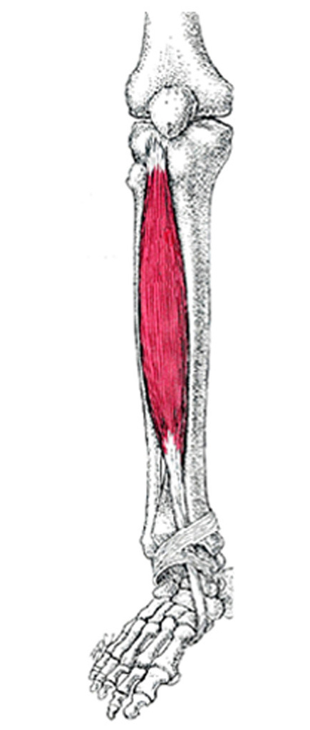Tibialis anterior_muskel - Zone44